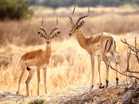Antiloper på Botswanas vidöppna bush